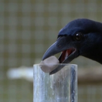 Next article: Nature Corner: Crows are geniuses and you can cash in