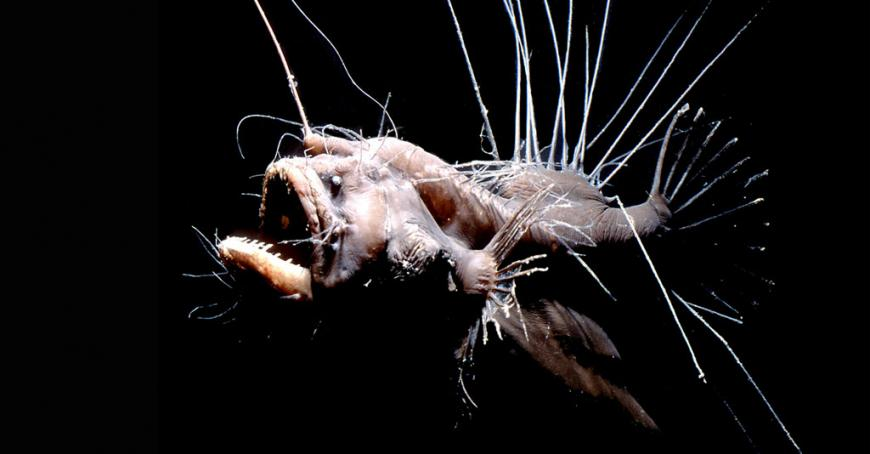 this deep sea creature is stuff of cthulu nightmares