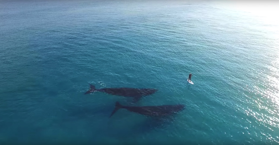 A dude paddle boarding with whales to bring you inner peace